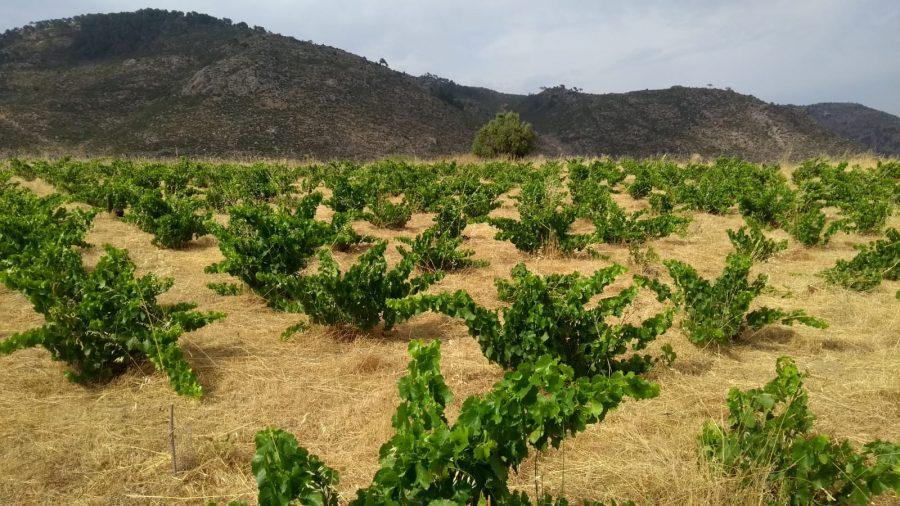 Viña de uva garnacha en Ávila de producción ecológica